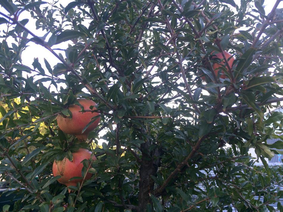 Piante da frutto e ulivi